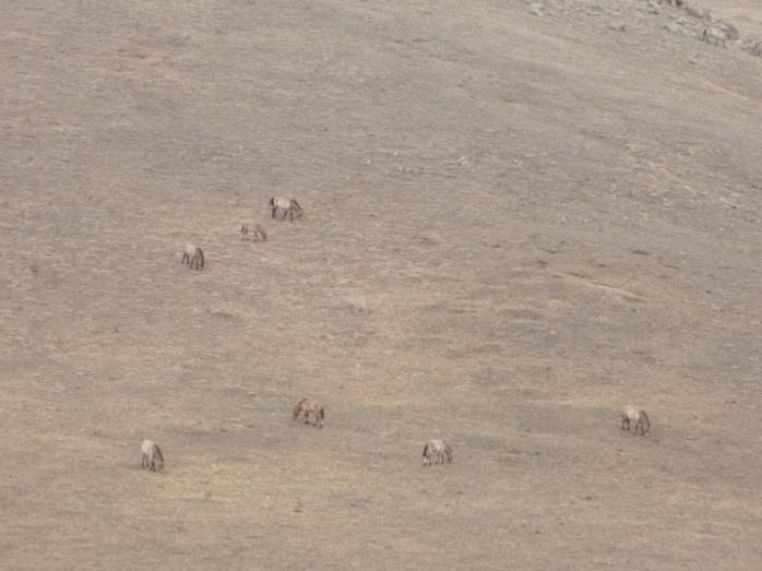 Mongolia_Hustaï-chevauxPrewalsky