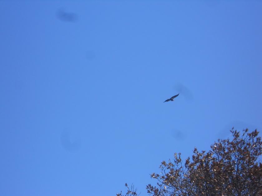 big sur condor